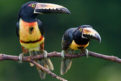 Teach-English-Costa-Rica-Toucans