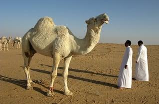 saudi-arabia-camel-compressed